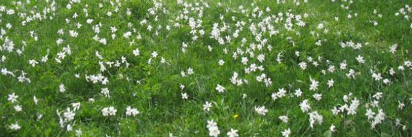 flora-divcibare-narcis