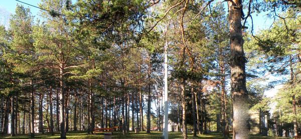 biljni-svet-divcibare-bor